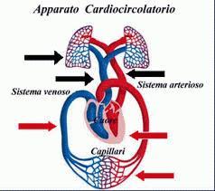 strati arterie e vene